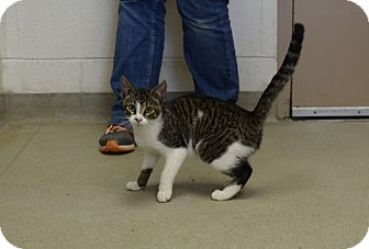 Domestic Shorthair Kitten for adoption in Bucyrus, Ohio - Crabtree
