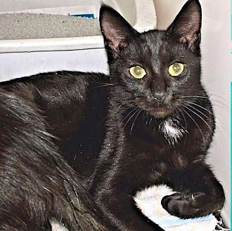 Domestic Shorthair Cat for adoption in Princeton, New Jersey - Breezy