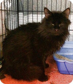 Domestic Longhair Cat for adoption in Beatrice, Nebraska - Bodhi