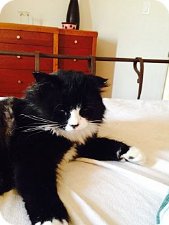 Domestic Mediumhair Cat for adoption in Montreal, Quebec - Boubou