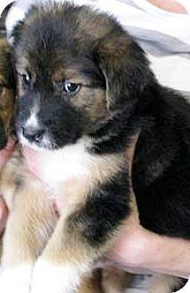 Australian Shepherd/German Shepherd Dog Mix Puppy for adoption in Oswego, Illinois - I'M ADGngr & Tym Thyme Carmer