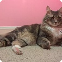 Domestic Longhair Cat for adoption in Bellevue, Washington - Thor
