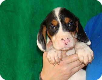 Beagle Puppy for adoption in Oviedo, Florida - Dante