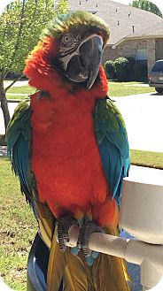 Macaw for adoption in Burleson, Texas - Monster