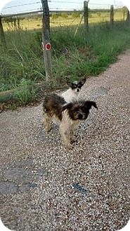 Shih Tzu/Chihuahua Mix Dog for adoption in Buchanan Dam, Texas - Jack and Jill