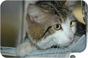 Domestic Mediumhair Cat for adoption in Warwick, Rhode Island - Clinton: Double-Pawed Cuddler!