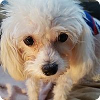 Adopt A Pet :: Pixie 2017 (m/c) - Chesterfield, MI