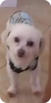 Maltese Dog for adoption in temecula, California - boots