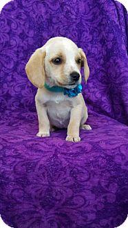 Boxer/Labrador Retriever Mix Puppy for adoption in Elkton, Maryland - Dana