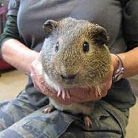 Adopt A Pet :: BOGART - Goleta, CA