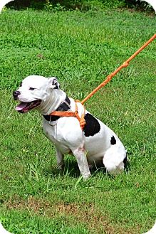 American Staffordshire Terrier/American Pit Bull Terrier Mix Dog for adoption in Albemarle, North Carolina - Knox