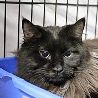 Domestic Longhair Cat for adoption in Asheville, North Carolina - Cecilia