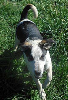 Australian Cattle Dog/Hound (Unknown Type) Mix Dog for adoption in Allentown, New Jersey - Boris
