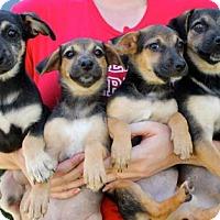 Adopt A Pet :: WrestleMania Puppies - Females - San Diego, CA