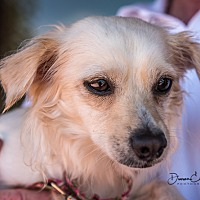 Spaniel (Unknown Type)/Terrier (Unknown Type, Small) Mix Dog for adoption in San Marcos, California - Tess