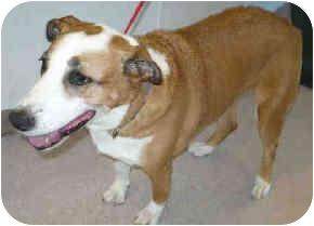 Australian Cattle Dog Mix Dog for adoption in San Clemente, California - PHOEBE