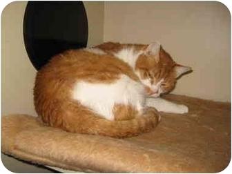 Domestic Shorthair Cat for adoption in Grand Rapids, Michigan - Beirut Kitties