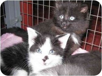 Domestic Shorthair Kitten for adoption in Randolph, New Jersey - Panda and Family
