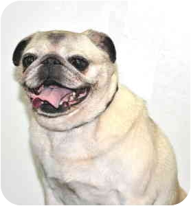 Pug Dog for adoption in Port Washington, New York - Annabelle