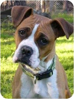 Boxer/American Bulldog Mix Dog for adoption in Mocksville, North Carolina - Providence