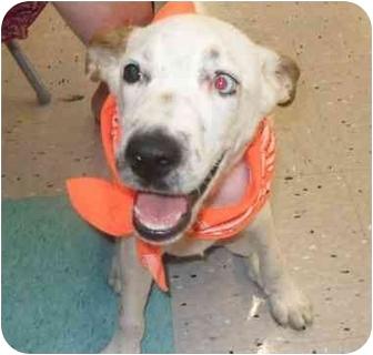 Australian Shepherd/Terrier (Unknown Type, Medium) Mix Puppy for adoption in Lonedell, Missouri - Dale Blue Eye