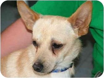 Chihuahua/Dachshund Mix Dog for adoption in Tillamook, Oregon - Bruiser