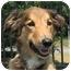 Photo 1 - Collie/Australian Shepherd Mix Dog for adoption in Overland Park, Kansas - Phoenix