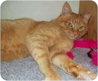 Domestic Shorthair Cat for adoption in Des Moines, Washington - Zeke