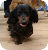 Dachshund Mix Dog for adoption in Spring Valley, New York - Millie Twinkles