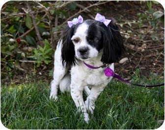 Cavalier King Charles Spaniel/Shih Tzu Mix Dog for adoption in Newport Beach, California - FAYE