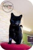 Domestic Longhair Kitten for adoption in Okotoks, Alberta - Eagle