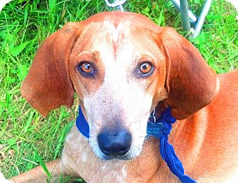 English (Redtick) Coonhound Dog for adoption in Worcester, Massachusetts - Cooney