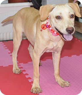 Shepherd (Unknown Type)/Labrador Retriever Mix Puppy for adoption in Encino, California - Bess Belinda