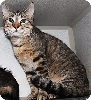 Domestic Shorthair Cat for adoption in Taylorsville, North Carolina - Shadow