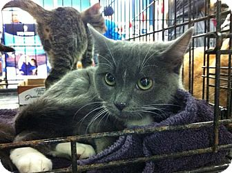 Domestic Shorthair Kitten for adoption in Pittstown, New Jersey - Emily