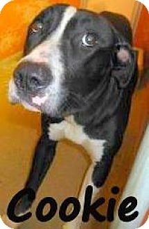 Pit Bull Terrier Mix Dog for adoption in Palm Coast, Florida - COOKIE