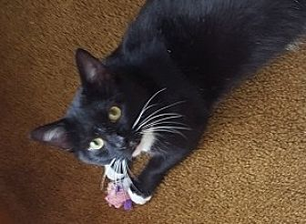 Domestic Shorthair Cat for adoption in Oviedo, Florida - Oliver