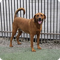 Adopt A Pet :: Lilly - Rockwall, TX
