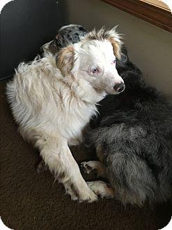 Australian Shepherd Dog for adoption in Parker, Kansas - Curly