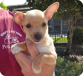 Chihuahua Mix Puppy for adoption in Lathrop, California - Ginger
