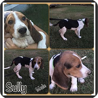 Beagle Mix Puppy for adoption in East Hartford, Connecticut - Sully in CT