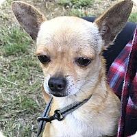 Adopt A Pet :: Simba - Tumwater, WA