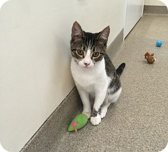 Domestic Shorthair Cat for adoption in Peace Dale, Rhode Island - Felix