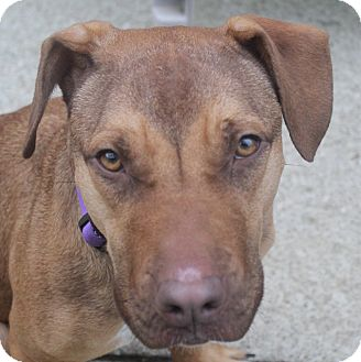 Rhodesian Ridgeback/Beagle Mix Dog for adoption in North Olmsted, Ohio - Orchid
