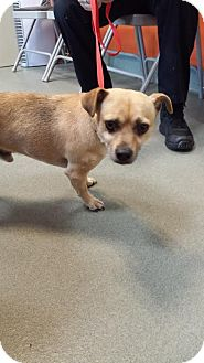 Corgi/Chihuahua Mix Dog for adoption in Westminster, California - Banner
