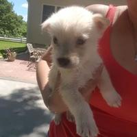 German Shepherd Dog Mix Puppy for adoption in Fairfax Station, Virginia - Safira: Drago
