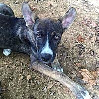 Adopt A Pet :: Keturah - Arrives 8/24! - Claremont, NH