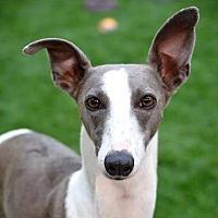 Adopt A Pet :: River - Garland, TX