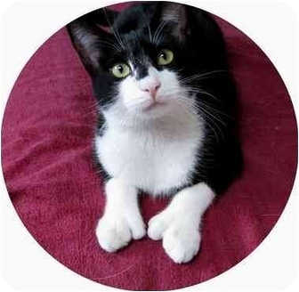 Domestic Shorthair Cat for adoption in AUSTIN, Texas - Toby
