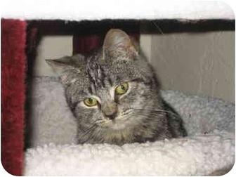 Domestic Shorthair Kitten for adoption in Davis, California - Mario